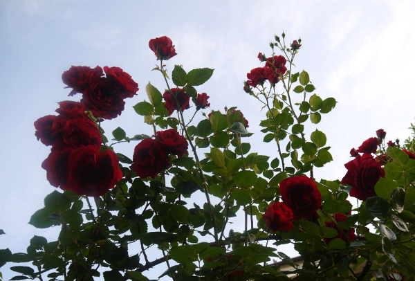 Rose03jpg
