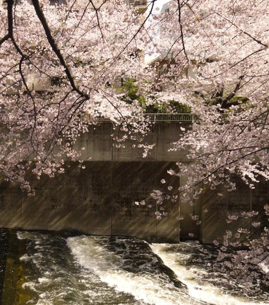 Sakura03b_2
